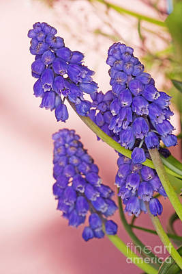 Grape Hyacinth Muscari Armeniacum Poster