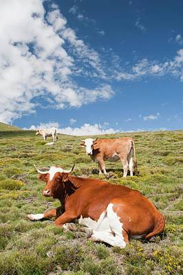 Grazing Cows Poster by Ashley Cooper