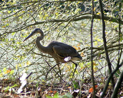 Poster featuring the photograph Great Blue Heron In Bushes by Karen Silvestri