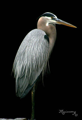 Great Blue Heron Poster by Mariarosa Rockefeller