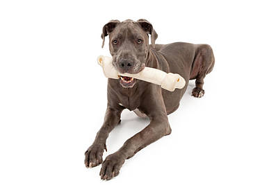 Great Dane Dog With Large Bone Poster by Susan Schmitz