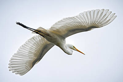 Great Egret Poster by Brad Grove