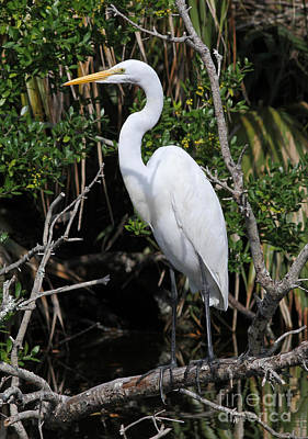 Great Egret Perched In Fallen Tree Poster