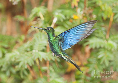 Great Sapphirewing Hummingbird Poster