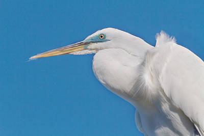 Great White Egret Poster by Kim Hojnacki