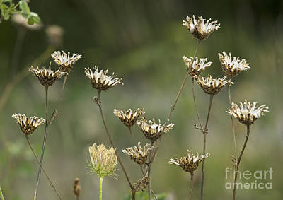 Greater Knapweed Seed Heads Poster