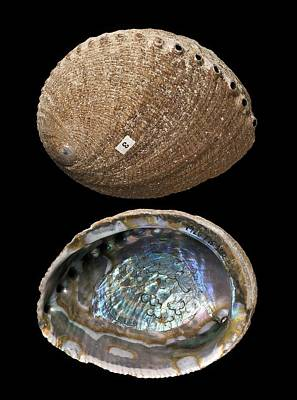 Green Abalone Shells Poster by Science Photo Library