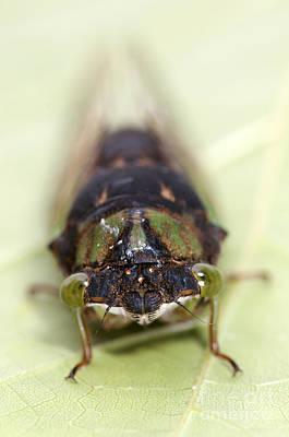 Green Annual Cicada Poster