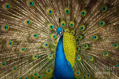 Green Beautiful Peacock Poster by Tosporn Preede