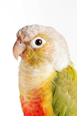 Green-cheeked Conure Pineapple P Poster