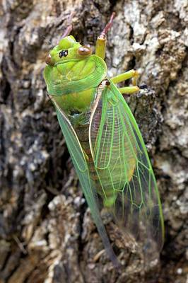 Green Grocer Cicada Poster