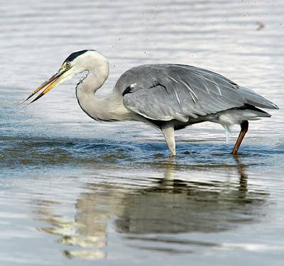 Grey Heron Catching A Fish Poster