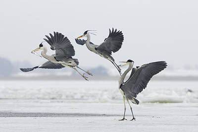 Grey Heron Trio Fighting Over Fish Poster