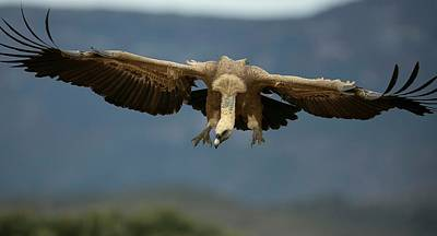 Griffon Vulture Flying Poster