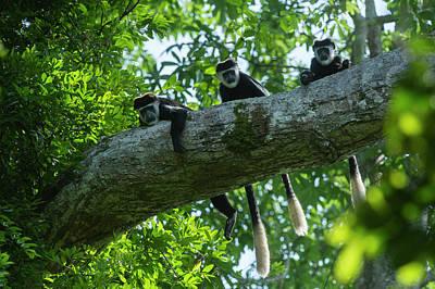 Guereza Colobus Monkey (colobus Guereza Poster by Pete Oxford