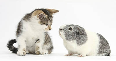 Guinea Pig And Kitten Poster by Mark Taylor