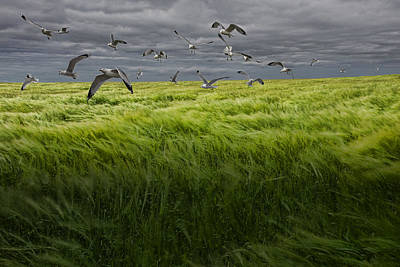 Gulls Flying Over A Grain Field Poster by Randall Nyhof