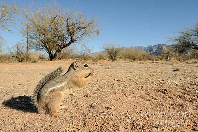 Harris Antelope Squirrel Poster