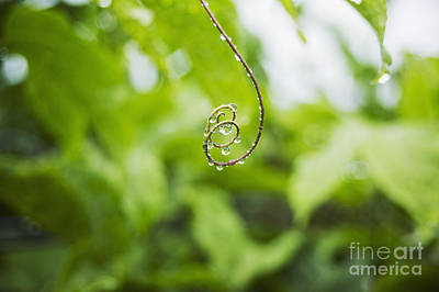 Hawaii, Oahu, Water Droplets On Curly Lilikoi Vine Tendril. Poster