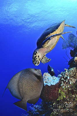 Hawksbill Sea Turtle And Gray Angelfish Poster
