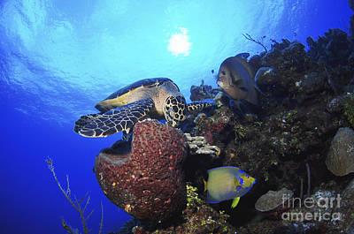 Hawksbill Sea Turtle Eating, Castle Poster