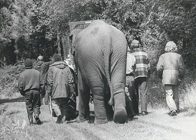 Hazel The Elephant Says Goodbye To Freedom Poster by Retro Images Archive