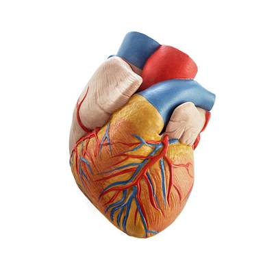 Heart Anatomy Model Poster by Science Photo Library