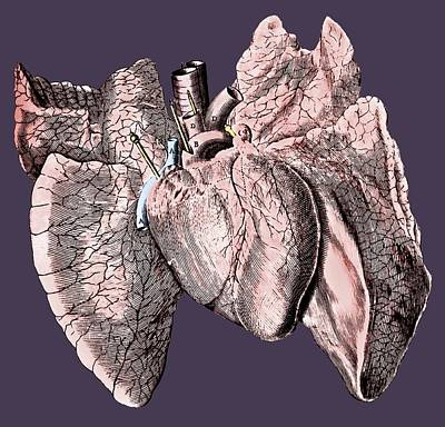 Heart And Lung Anatomy Poster by Science Photo Library
