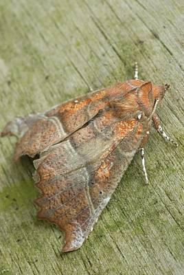 Herald Moth Poster by David Aubrey