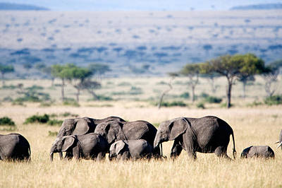 Herd Of African Elephants Loxodonta Poster by Panoramic Images