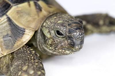 Hermanns Tortoise Head Poster by Jon Stokes