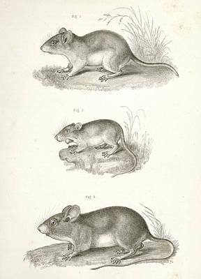 1. Hesperomys Texanus, Texas Mouse 2. Perognathus Flavus Poster
