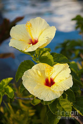 Poster featuring the photograph Bright Yellow Hibiscus by Roselynne Broussard