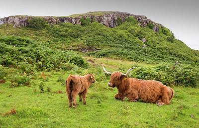 Highland Cattle Poster by Ashley Cooper