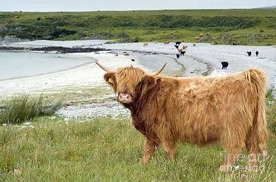 Highland Cattle By The Sea Poster by Duncan Shaw