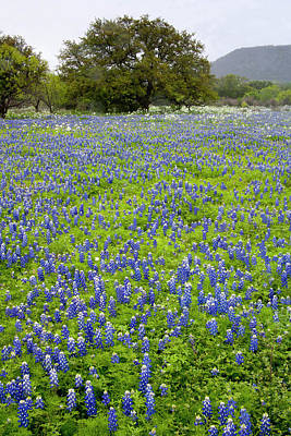 Hill Country, Texas, Bluebonnets Poster by Alice Garland