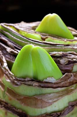 Hippeastrum Bulb Producing Flower Buds Poster by Dr Jeremy Burgess