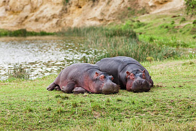 Hippopotamus (hippopotamus Amphibius Poster