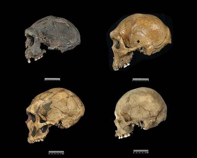 Homo Sp. Skulls Poster by Science Photo Library