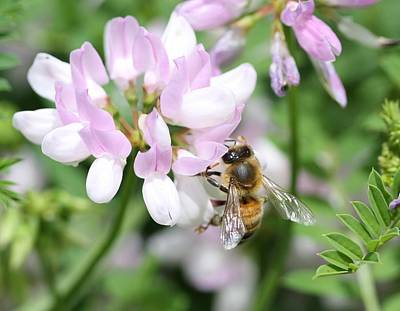 Honeybee On Crown Vetch Poster