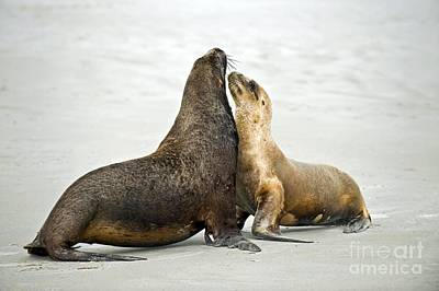 Hookers Sea Lions Poster