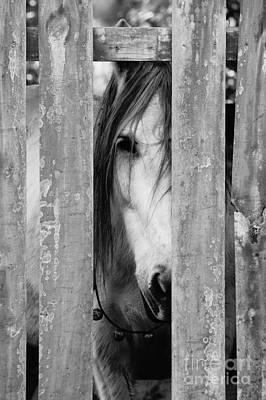 Horse Board 2 Poster by Lynda Dawson-Youngclaus