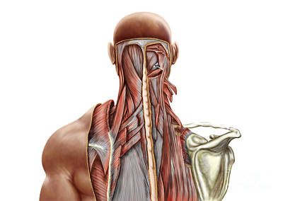 Human Anatomy Showing Deep Muscles Poster