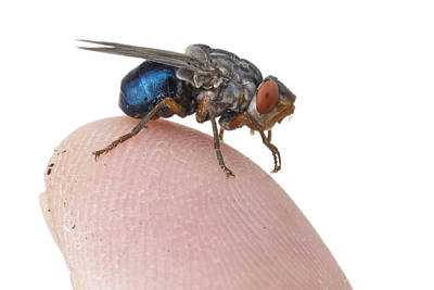 Human Botfly Belize Poster