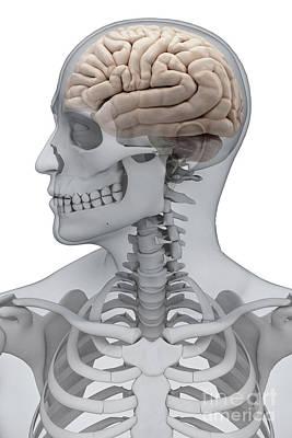Human Brain Male Poster