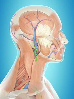 Human Head Anatomy Poster