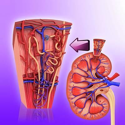 Human Kidney Nephron Poster