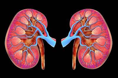 Human Kidneys Poster