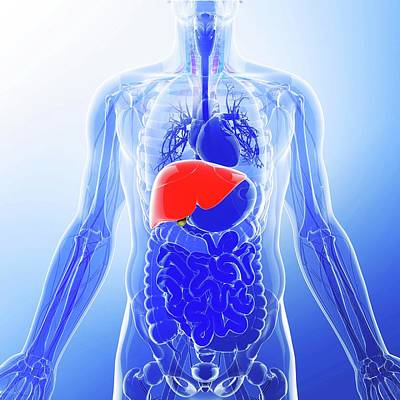 Human Liver Poster