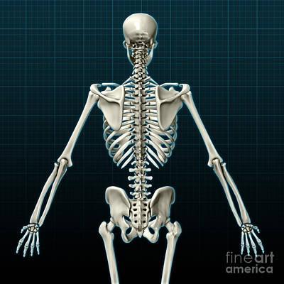 Human Skeleton, Posterior View Poster